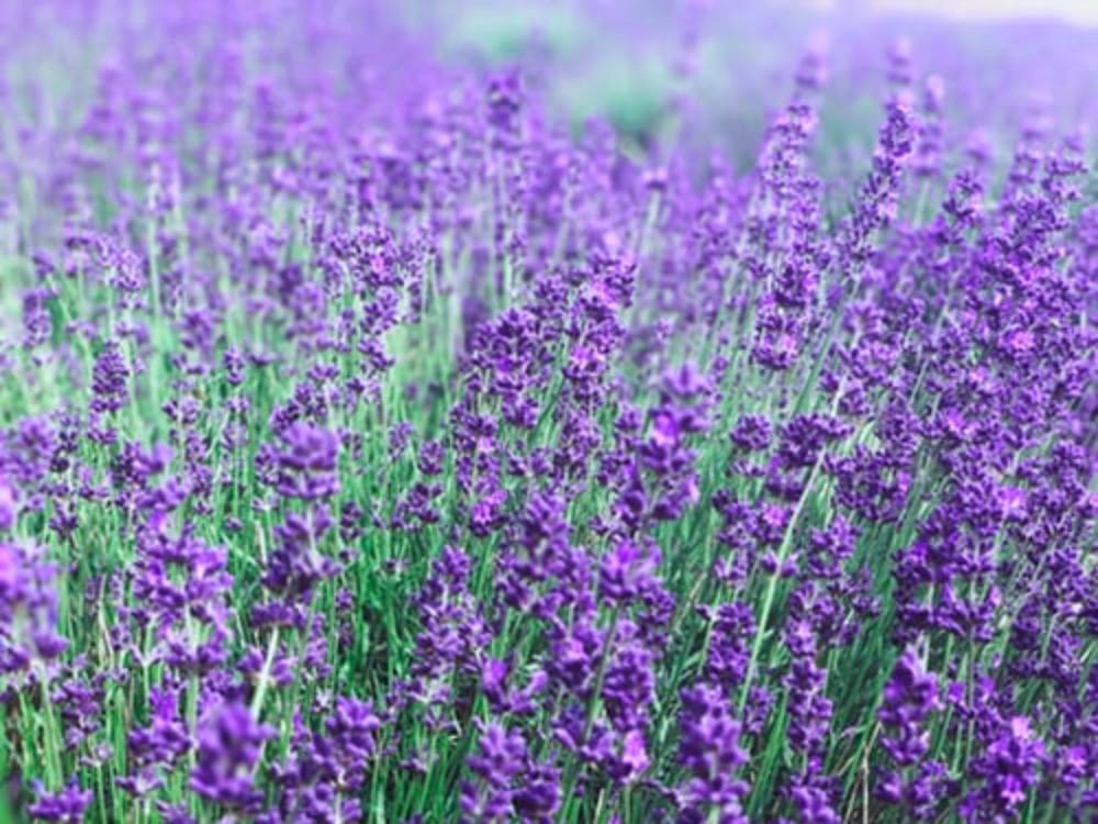 Αρωματικά Φαρμακευτικά Φυτά και βότανα της Κρήτης