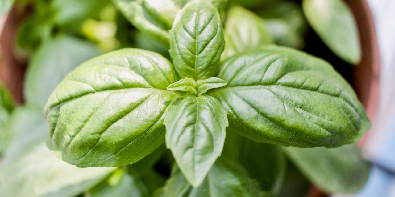 Βασιλικός: Το ευλογημένο φυτό με τις πολλές χρήσεις