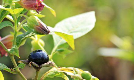 Η ιστορία της μπελαντόνα: Ένα δηλητηριώδες φυτό