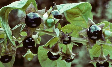 Μπελαντόνα: Οι ιδιότητες του τοξικού φυτού