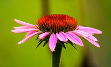 Η εχινάκεια είναι ένα βότανο «όπλο» ενάντια της γρίπης