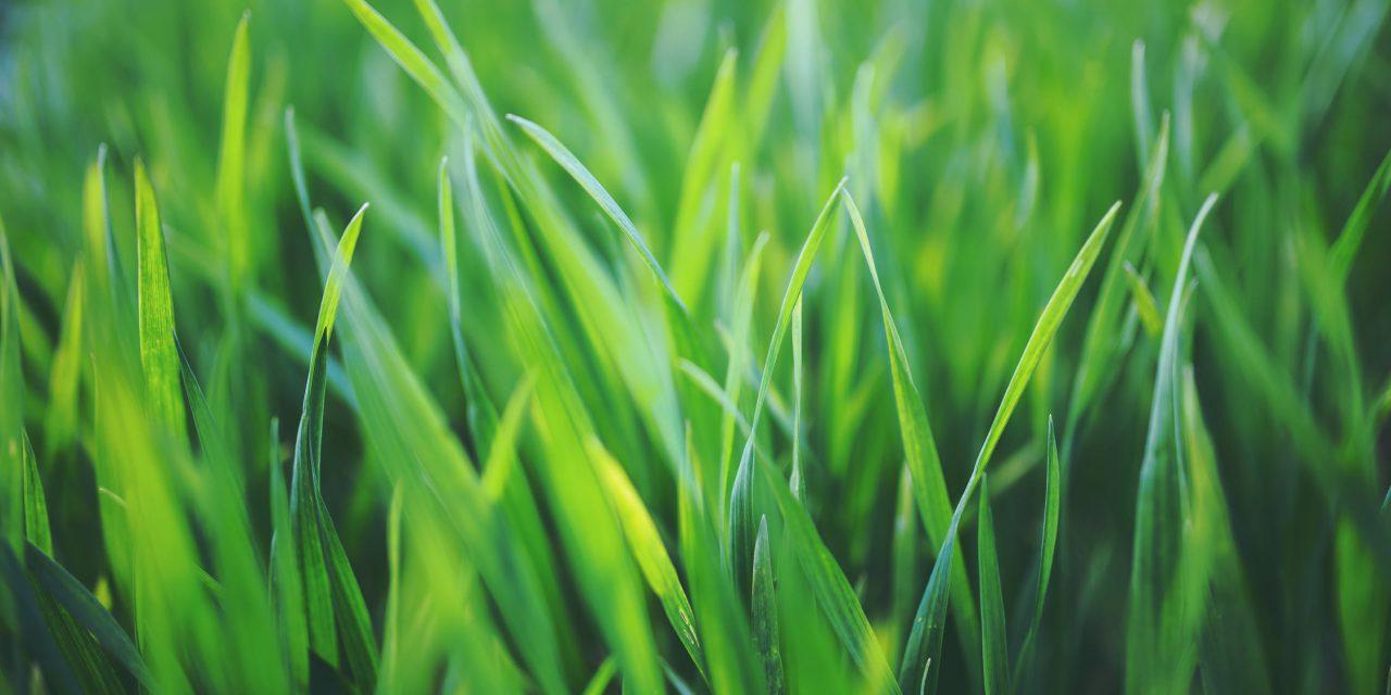 Τι είναι τα αγρωστώδη φυτά;