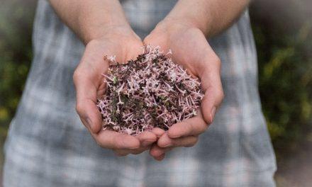 Η συγκομιδή των Αρωματικών Φαρμακευτικών Φυτών