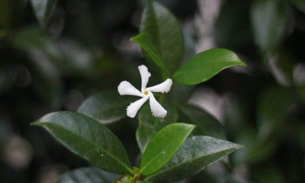 Γιασεμί: Περιγραφή & Καλλιέργεια του μεθυστικού φυτού