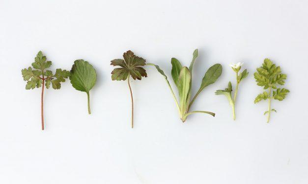 Η διαίρεση στα πολυετή βότανα