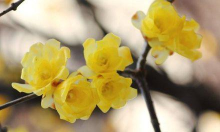 Χειμωνανθός, το λουλούδι του χειμώνα και του χωρισμού
