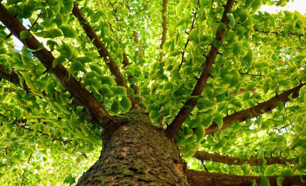 Πώς επιβιώνουν τα χιλιόχρονα δέντρα; Βρέθηκε το μυστικό της μακροζωίας τους