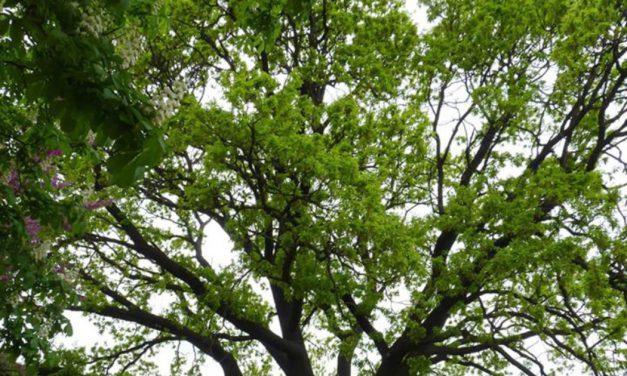 """""""Δέντρο της χρονιάς"""", μια βελανιδιά 500 ετών στη Βουλγαρία"""