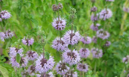 Φλησκούνι: Ένα φυτό – εντομοαπωθητικό