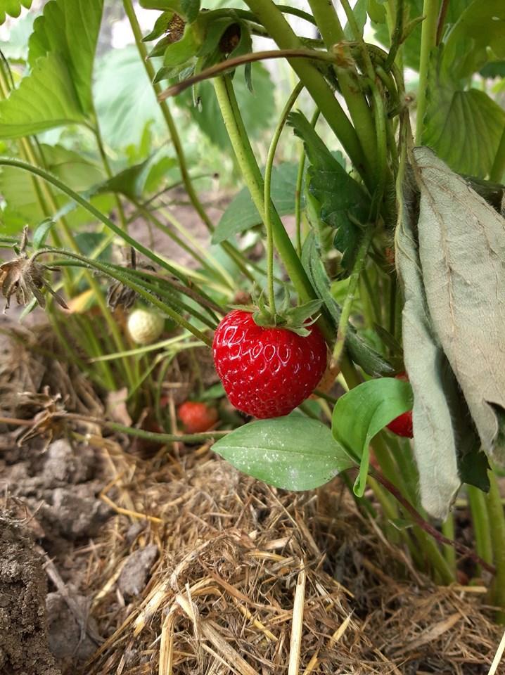 Φράουλα: Το φρούτο που θα ξετρελάνει μικρούς και μεγάλους στον κήπο σας