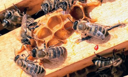 Πώς φτιάχνουν το μέλι οι μέλισσες