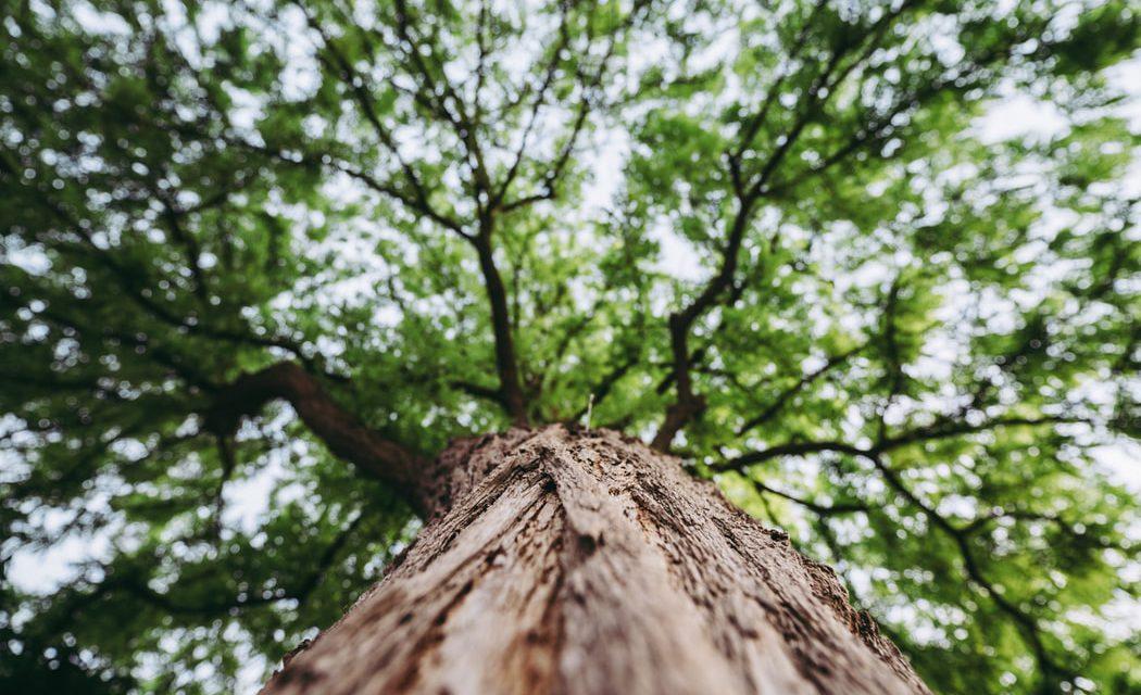 """Μυρμήγκια φιλοξενούνται στα """"ιερά δέντρα"""" της Ηπείρου"""