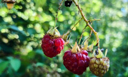 Στην Κοπεγχάγη φυτεύουν δημόσια οπωροφόρα δέντρα με δωρεάν φρούτα για όλους
