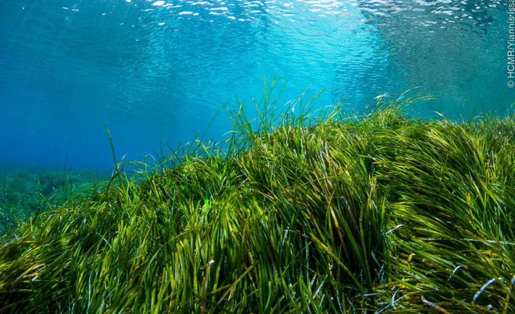 Ποσειδωνία: Τα λιβάδια της υποστηρίζουν μια ολόκληρη θαλάσσια βιοποικιλότητα