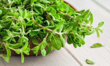 Μαντζουράνα: Ένα φυτό – πηγή ονείρων