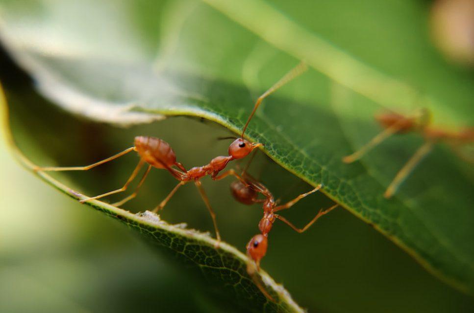 Τα μυρμήγκια προστατεύουν τα φυτά από ασθένειες: Ανακάλυψη για βιολογικά φυτοφάρμακα