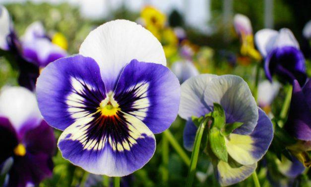 Πανσές: Ο αρχηγός του χειμωνιάτικου κήπου
