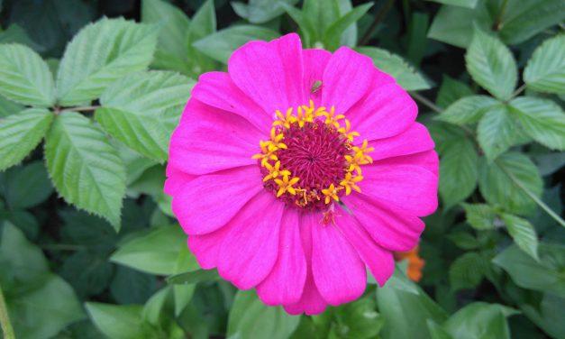 Ζίννια: Η όμορφη πρωταγωνίστρια του κήπου σου