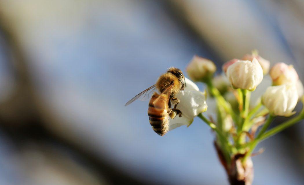 Ποιο εντομοκτόνο απαγορεύει η ΕΕ επειδή είναι επιβλαβές για τις μέλισσες