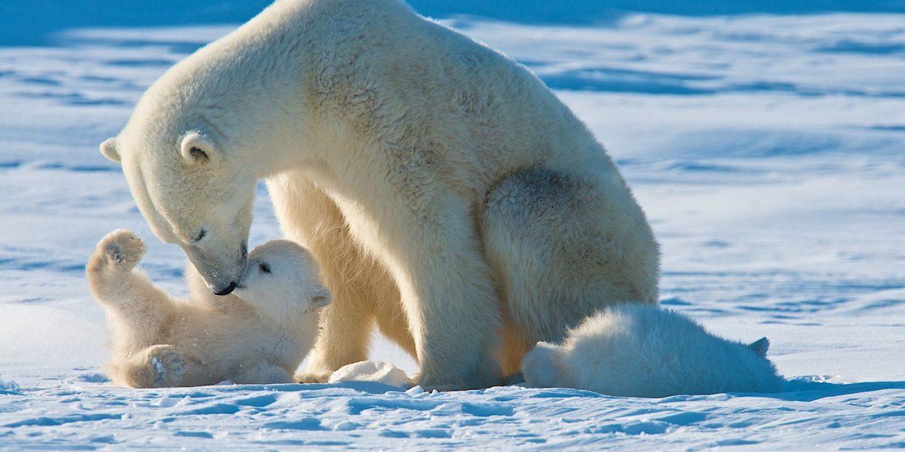 Σαν σήμερα 27 Φεβρουαρίου: Διεθνής Ημέρα Πολικής Αρκούδας
