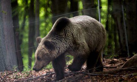 Ξύπνησαν οι αρκούδες στο Καταφύγιο του «Αρκτούρου»