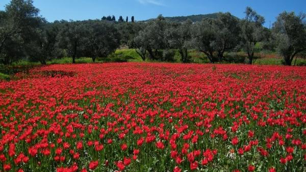 Το κόκκινο χαλί από άγριες τουλίπες στη Χίο μαγεύει κάθε άνοιξη