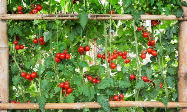 Πέργκολα με κρεμαστές ντομάτες – Οφέλη & Πώς να τη φτιάξεις