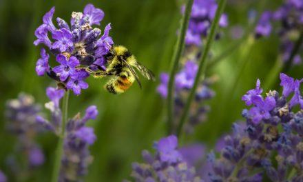 11 μελισσοτροφικά φυτά για τον κήπο σου