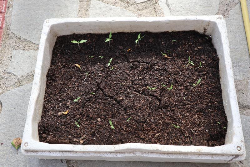 Πώς να καλλιεργήσεις ντομάτα στον κήπο σου