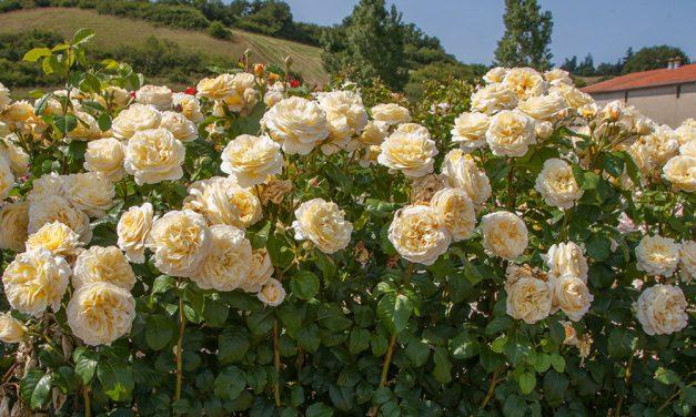 10 ιδιαίτερα τριαντάφυλλα που θα αγαπήσεις