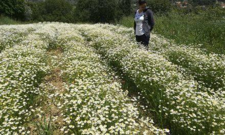 Αρωματικά φυτά και βότανα της Χίου από την 28χρονη