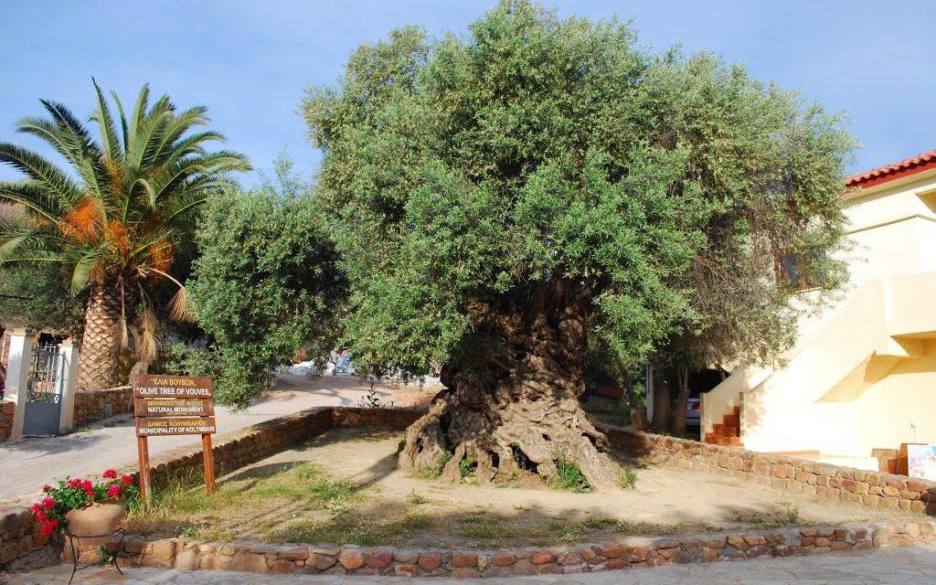 Τα Μνημειακά Ελαιόδεντρα της Κρήτης σε ντοκιμαντέρ γερμανικού τηλεοπτικού καναλιού
