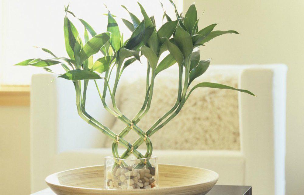 Λάκι μπαμπού: Το τυχερό φυτό που φέρνει γούρι