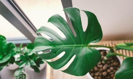 Μονστέρα, το φυτό που θα αγαπήσεις